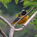 The Baltimore Oriole is a medium-sized songbird with a thick neck, long legs, and pointed bill. The male's brilliant orange plumage blazes from high branches like a torch.
