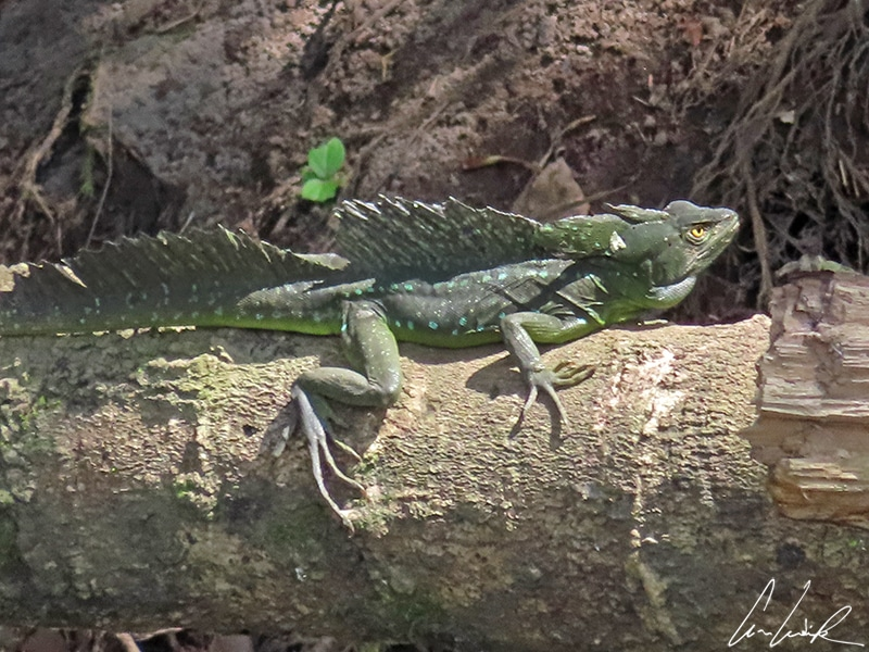The adult male basilisk also called the Jesus Christ lizard is a reptile with shiny emerald green scales. It has a slender body and webbed hind legs.