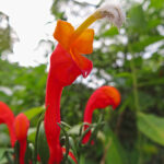 Centropogon granulosus is appreciated for its very beautiful tubular flowers of flaming red color. It is characterized by an abruptly curved corolla tube with apical hairs and recurved stigma.