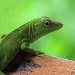 The small Green anole (still called American chameleon), immobile in the foliage of the tropical forest. It can be approached without any difficulty as it must think itself invisible !