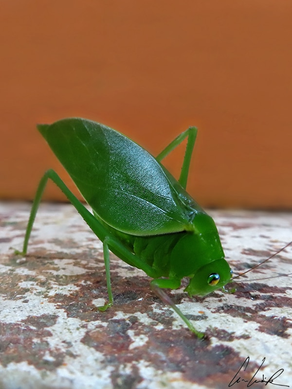 The leafhopper is the queen of camouflage. The shape and colors of its body reflect its environment, even copying the individual characteristics of the plants it imitates. It must be isolated from its natural environment for its insect-like forms to appear.