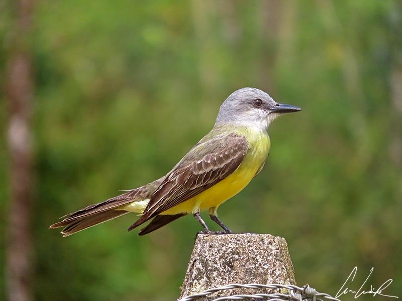 Le Tyran du Panama est une espèce de passereau. Les ailes et le dos sont brun, la tête est grise tandis que son ventre arbore un plumage jaune.