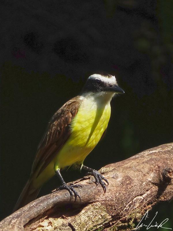 Le Tyran quiquivi arbore un plumage coloré, ventre jaune, queue et ailes brun orangé, tête noire et blanche. Il a un corps robuste, et un grand bec noir légèrement crochu.