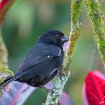 Le Jacarini noir arbore un plumage bleu-noir irisé. Son bec est court et pointu. Une petite tache blanche est visible à l'articulation de l'aile.