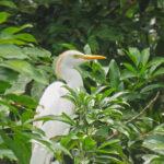 Le héron garde-bœufs est un échassier de petite taille et trapu. Cet oiseau blanc arbore des plumes orangées sur la tête, le dos et la poitrine en période nuptiale.