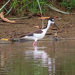 L'échasse d'Amérique est un échassier de taille moyenne au plumage noir et blanc. Son long bec noir est fin et rectiligne. Deux très longues pattes rouge-rosé, se terminent par 3 doigts non palmés.