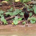 Le Jacana du Mexique est un échassier au dos et aux ailes de couleur marron, le reste du corps étant essentiellement noir. On peut apercevoir sur le front une plaque charnue jaune divisée en trois lobes.