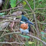 Le Martin pêcheur d'Amazonie mâle a un plumage vert foncé avec une poitrine rousse et un ventre blanc. Il a également un fin collier blanc. Son bec est noir et ses pattes gris sombre.