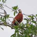 La buse à tête blanche un rapace pêcheur. Elle est facile à identifier avec son plumage en grande partie roux orangé et sa tête blanc crème. Elle mesure de 45 à 55 cm pour une envergure variant de 1,10 à 1,30 mètres.
