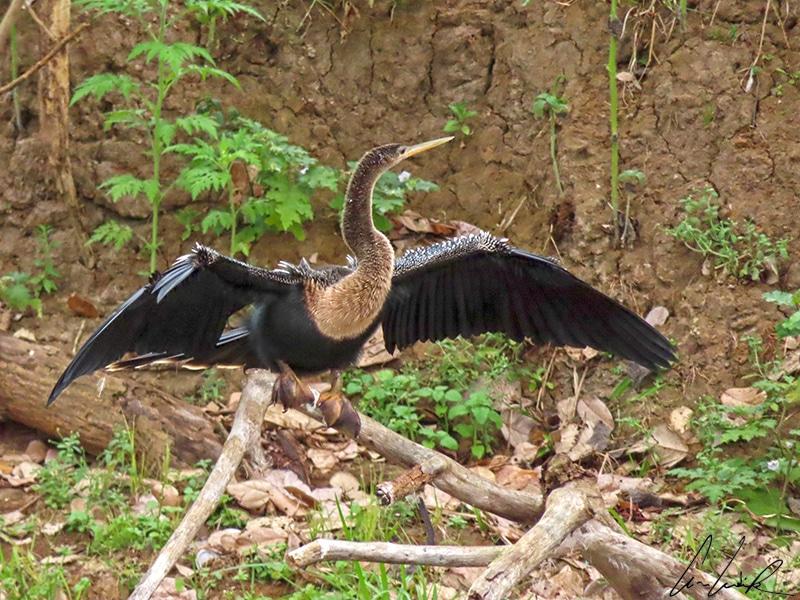 L'Anhinga d'Amérique possède un plumage sombre avec de belles ailes argentées et un long cou. Son plumage étant perméable à l'eau, il doit passer de longs moments à sécher au soleil.