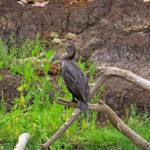 Le Cormoran Vigua a la tête, le cou et la majeure partie du corps noirs avec des reflets bleuâtres ou violacés. Son bec brunâtre est assez long et crochu à son extrémité.