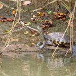 Une tortue à ventre jaune se réchauffe au soleil, allongée sur un bois flottant. Cette tortue d'eau douce a une peau marquée de traits rayés de couleur jaune/vert. Sa carapace est de couleur marron vert
