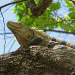 Un Iguane vert se réchauffe au soleil, haut perché sur une branche. Son dos et sa queue sont recouverts d'épines et ses pattes se terminent par de longues griffes.