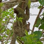 Un paresseux à gorge brune ou aï grimpe lentement à un arbre. Il possède trois griffes à l'extrémité des membres antérieurs. Il est souvent appelé paresseux à trois doigts ou tridactyle.