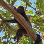 Un singe hurleur au pelage noir dort sur une branche d'arbre. Sa longue queue préhensile lui sert de 5ème membre et lui permet de s'accrocher aux branches des arbres.