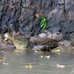 Sur les berges du Rio Frio, le caïman à lunettes est omniprésent. Ses yeux sont verdâtres, ses paupières ridées avec notamment une crête osseuse entre les yeux qui rappelle la branche médiane d'une paire de lunettes d'où son nom.