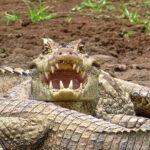 Les caïmans à lunettes utilisent leurs puissantes petites dents et leurs fortes mâchoires pour s'accrocher à leurs proies, les empêchant ainsi de s'échapper. Ses dents pointues, lui permettent de broyer les os.