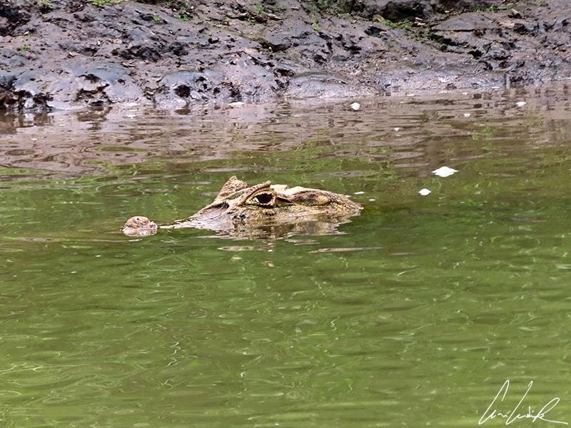 Immergé dans la mangrove, le caïman à lunettes se repose en guettant une proie facile. Ses incroyables capacités à retenir son souffle (jusqu'à 50 minutes en apnée) lui permettent de rester longtemps sous l'eau pour chasser ou digérer.